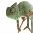 Baby Chameleon — Stock Photo