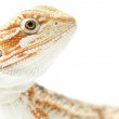 Lizard Bearded Dragon — Stock Photo