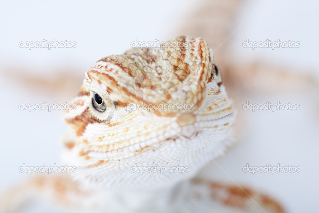 Lizard Bearded Dragon, this one known as Sandfire, isolated on white background  Stock Photo #4979380