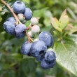 Blueberries on brunch — Stock Photo #5027464