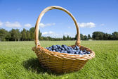 Blueberries in the basket outside — Stock Photo