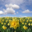 Stock Photo: Yellow daffodils field