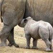 Stock Photo: Baby rhinoceros