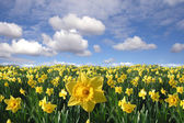 Yellow daffodils field — Stock Photo