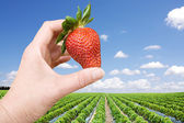 Strawberry field and hand with big berry — Stock Photo