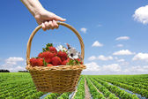 Strawberry field and hand with basket closeup — Stock Photo