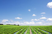 Strawberry field perspective — Stock Photo