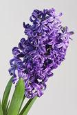 紫のヒヤシンス — ストック写真