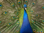 Majestic peacock — Stock Photo