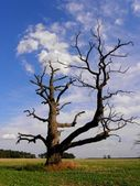Very old oak — Stock Photo