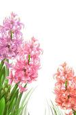 Three beautiful hyacinths — Stock Photo