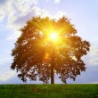 Tree and sunlight - Stock Photo