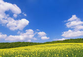 Rapessed field — Stock Photo