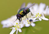 A single Fly — Stock Photo