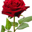 Royalty-Free Stock Photo: The red rose