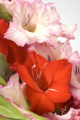 The bunch of gladiolas — Stock Photo