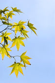 The maple leaves — Stock Photo