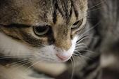 Tabby cat the — Stock Photo