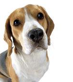 Adult dog — Stock Photo