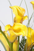 The bunch of Callas — Stock Photo