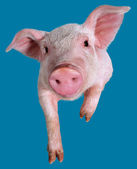 Young piglet — Stock Photo