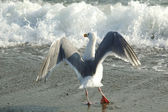Seagull in frot of the wave — Stock Photo