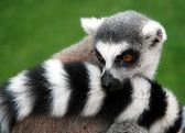Lemur Animal — Stock Photo