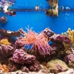Coral reef in aquarium — Stock Photo #5172383