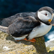 Beautiful puffin on the Iceland — Stock Photo