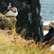 Beautiful puffins on the Iceland — Stock Photo