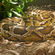 Boa constrictor coiled in terrarium — Stock Photo