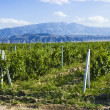 Stock Photo: Vineyards against backdrop of mountains.Turkmenistan.