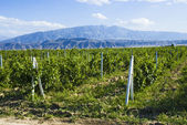 Vineyards against the backdrop of the mountains.Turkmenistan. — Stock Photo