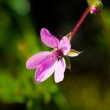 Stock Photo: Microscopic pink mountain flower in larger size