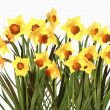 Daffodils — Stock Photo #5020737
