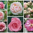 Stock Photo: Collage of roses
