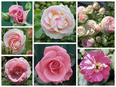 Collage of roses — Stock Photo