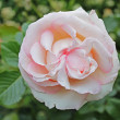 Stock Photo: Eden rose 85
