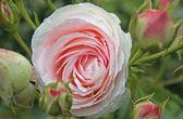 伊甸园玫瑰 85 — 图库照片