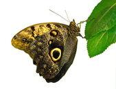 Butterfly (Caligo memnon). — Foto Stock