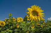 Sunflowers under a blue sky — Stock Photo