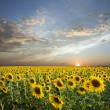 Royalty-Free Stock Photo: Sunflowers sunset