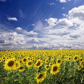Sunflowers landscape — Stock Photo