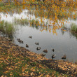 Wild ducks 2 — Stock Photo #5009939