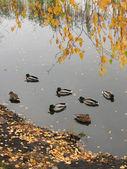 Wild ducks 3 — Stock Photo