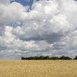 Field of wheat — Stock Photo #5015419