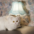 White persian cat near a lamp on a kitchen desk — Stock Photo