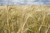 Ear of the wheat — Stock Photo