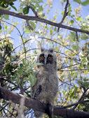 Owl on a tree — Stock Photo