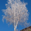 Birch - Photo